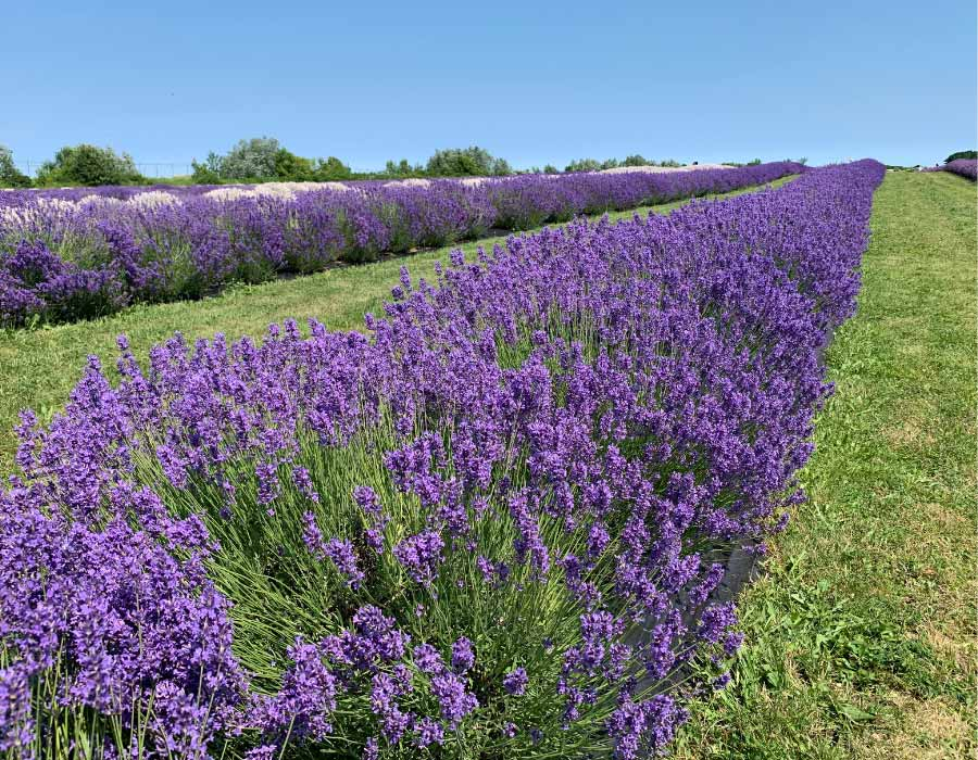 Lavender fields in niagara on the lake during a day trip