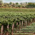 Vineyard team building experiences at Inn On The Twenty in Jordan Village