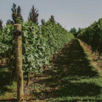 Vineyards at Inn On The Twenty in Jordan Village